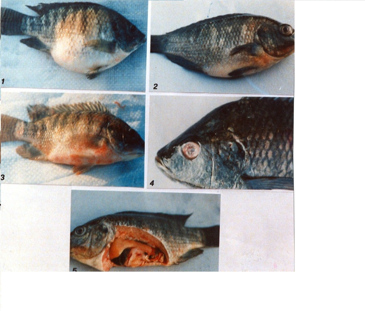 Rais regional aquaculture information system photo library for Septicemia in fish